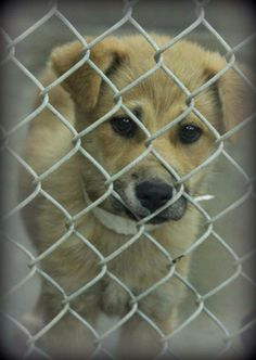 ***7/2/14 TO BE DESTROYED ANY GIVEN MOMENT!! LISTED ODESSA HIGH-KILL URGENT!!***Retriever mix female less than a year Kennel A20 Available NOW ****$51 to adopt  She has had vaccines!!  Located at #Odessa, #Texas Animal Control. 432-368-3527 *** KILL SHELTER