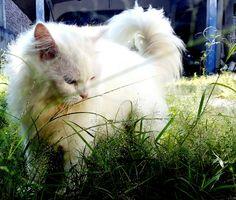 My lovely white persian medium