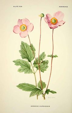 Ботанические таблицы. Анемона hupehensis илл.1896 _ Botanical prints - pd anemone hupehensis illustration 1896