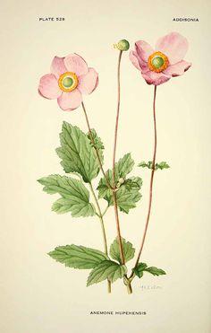 Ботанические таблицы. Анемона hupehensis илл.1896 _ Botanical prints - pd anemone hupehensis illustration 1896