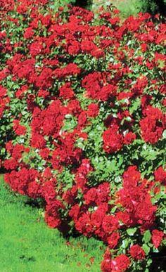 Rugosa Rose Hedge Rose Hedge, Rose Garden Design, Garden Projects, Garden Ideas, Living Fence, Coming Up Roses, Rose Cottage, Landscaping Plants, Flower Beds