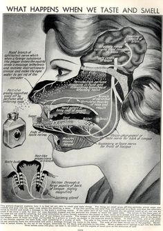 Sensory stimulation in brain/head. Medical Art, Medical History, Nutrition Resources, Sensory System, Sensory Stimulation, Images Vintage, Science Illustration, Graduate Program, Therapy Tools