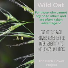 Bach Flower Remedy - WILD OAT