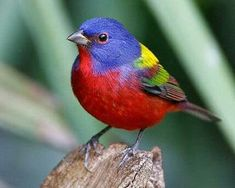 The Painted Bunting is a species of bird in the Cardinal family, Cardinalidae, that is native to North America. Wikipedia Scientific name: Passerina ciris Rank: Species Higher classification: Passerina Lower classifications: Eastern Painted Bunting Kinds Of Birds, All Birds, Little Birds, Love Birds, Angry Birds, Flying Birds, Pretty Birds, Beautiful Birds, Animals Beautiful