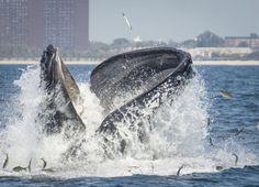 Big Apple, côté mer. 18 septembre, Queens. Une baleine à bosse près de la plage de #Rockaway… Les efforts de #NewYork pour faire baisser la pollution dans l'#Hudson sont récompensés : il n'est plus rare de voir des baleines au bord de la côte, un phénomène pourtant inhabituel il y a quelques années. (Le Point n°2193)