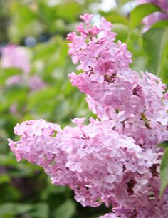 Spring Lilacs in full bloom in the garden. Love the scent and the wonderful branches loaded with colour.