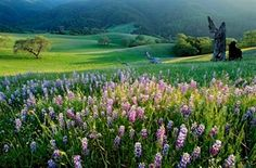 Beautiful Lupins in Carmel Valley Monterey Hotels, Monterey County, Carmel Valley Ranch, Visitors Bureau, Pebble Beach, Big Sur, Home And Away, Trip Planning, Golf Courses