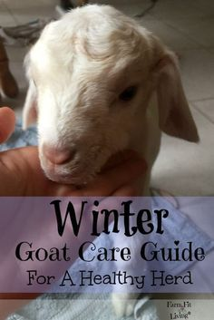 Winter Goat Care Guide Caring for Goats through the Winter Raising Goats Keeping Goats, Raising Goats, Raising Chickens, Goat Shelter, Goat Pen, Goat Care, Boer Goats, Nigerian Dwarf Goats, Goat Farming