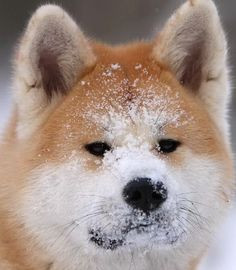 Akita Inu Puppies | Akita Puppy Pictures