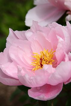 Pivoine    Paeonia suffriticosa 'tamafuyo' by Etienne GOUMET, via Flickr