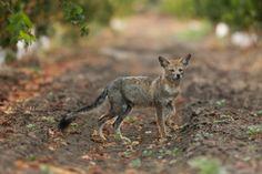The Argentine Grey Fox can be sighted frequently roaming the vineyards of La Estancia de Cafayate's 550 hectare property.  El zorro gris argentino puede ser avistado con frecuencia en los viñedos de La Estancia de Cafayate.