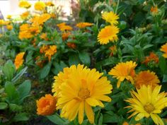 Top 10 Stunning Flowers that Grow in Shades - Flowers are the purest plants for its scent fragrance, colors, and shapes. And there are a lot of species that. Shade Flowers, Types Of Flowers, Orange Flowers, Wild Flowers, Fast Growing Plants, Growing Flowers, Primrose Plant, Small Shrubs, White Anemone