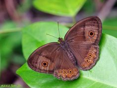 Butterflies of Singapore: Butterfly of the Month - November 2011
