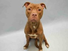 01/09/16-Brooklyn Center NANCY – A1061567 FEMALE, BROWN / WHITE, AM PIT BULL TER, 1 yr STRAY – STRAY WAIT, NO HOLD Reason STRAY Intake condition EXAM REQ Intake Date 12/27/2015, From NY 11208, DueOut Date 12/30/2015, Urgent Pets on Death Row, Inc
