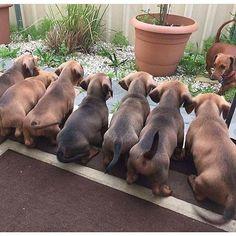 Puppy butts 🙈🐾 #BFFS #BootifulBuns #SausageDogCentral @ralph_minidachshund @annifrangipani