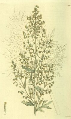 Wormwood, Absinthe - Artemisia absinthium -Medicinally Wormwood has been used to make a bitter tonic to stimulate appetite and improve digestion - circa 1803