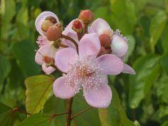 flor de achiote