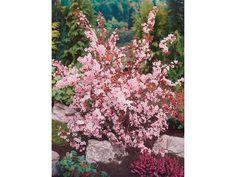 """Freiwachsende Blütenhecken, Solitärpflanze, Ziergehölz ✓ Blutpflaume """"Nigra"""" Rosa Höhe ca. 60 - 80 cm Topf ca. 7 l Prunus im OBI Online-Shop kaufen"""