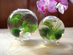 Hey, I found this really awesome Etsy listing at https://www.etsy.com/listing/122795110/sale-zen-nano-orb-marimo-ball