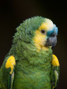 Blue-fronted Amazon Parrot like Sam.   He loves company and to laugh and be part of the fun.   He has his mean moments too.