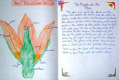 Waldorf ~ 5th grade ~ Botany ~ Parts of the Flower 1 ~ main lesson book