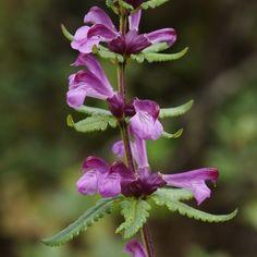 Pedicularis comptonifolia [Family: Orobanchaceae]