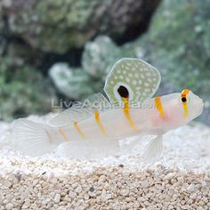 Saltwater Aquarium Fish for Marine Aquariums: Orange Stripe Prawn Goby