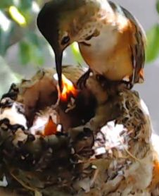 I can actually watch Bella Hummingbird and her nestlings live via webcam from their California garden! How cool!!!!  :-)