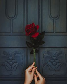 photo of person holding red rose flower Rose in hand