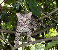 best images and pictures ideas about Geoffroy's cat - cats that look like tigers