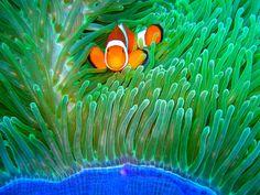 Orange Clown Fish and Green Anemone - 8x12 inch (20.32 x 30.48 cm) - DIGITAL DOWNLOAD - Clown Fish Photos - Underwater Photos - Ocean Art