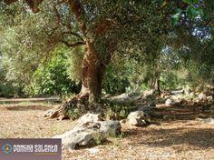 I nostri ulivi patrimonio dell' unesco! #ulivipatrimoniounesco #salento #dominasalento #puglia #italy #nature
