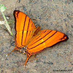 Butterfly (Marpesia berania, Common name: Orange daggerwing)