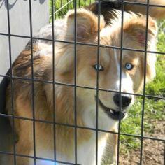 Australian Shepherd/Husky Mix: An adoptable dog in The Colony, TX. Australian Shepherd Husky, Husky Mix, Colonial, Corgi, Future, Animals, Style, Swag, Future Tense