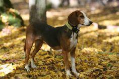 Deutsche Bracke Germany 16 to 21 inches Dandie Dinmont Terrier, Doberman Pinscher, Dog Breeds, Germany, Dogs, Animals, German Language, German, Animaux