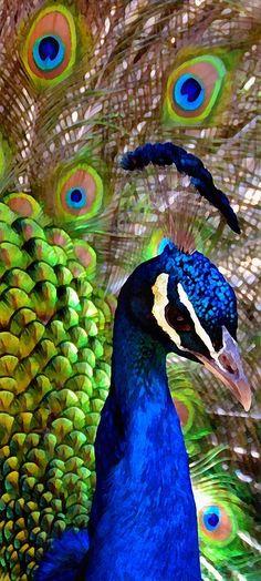 Peacock Pride Print by Angelina Vick