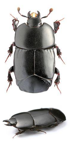 Hololepta plana (Histeridae)