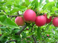 Pink ladies Apple