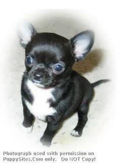 Guardado's Chihuahuas