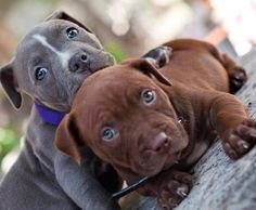 Red rose Pitbull puppies.. Click the pic for more awww..  ill take both now plsss the nanny of all dogs