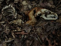 Decomposed Red Fox by FritzFlohrReynolds on Flickr.