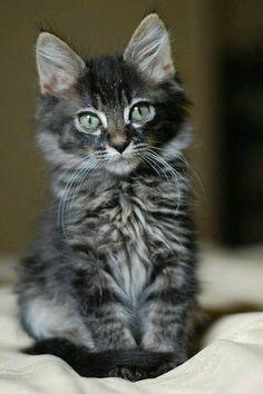 Gatito  #