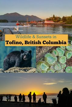 Two of the best things to do in Tofino, British Columbia, Canada: Wildlife spotting + those sunsets! Story from a summer vacation in Tofino, BC and a black bear and orca whale watching tour.:
