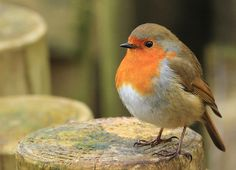 Robin all puffed up to keep itself warm. Couldn't resist taking a pic of this cutie. Pretty Birds, Love Birds, Beautiful Birds, Robin Day, Robin Bird, Animals And Pets, Cute Animals, European Robin, Super Cute Puppies