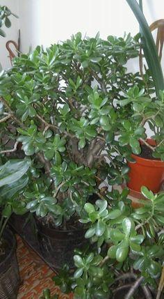 Pozsgafa gondozása olvasói tanácsokkal | Balkonada Indoor, Flowers, Decor, Gardening, Plant, Interior, Decoration, Lawn And Garden, Decorating