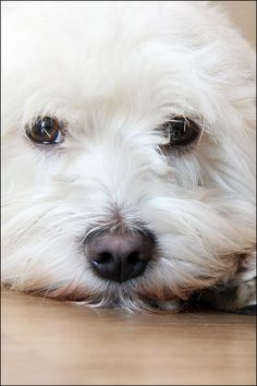 Cute Puppies, Cute Dogs, Dogs And Puppies, Maltese Dog Breed, Maltese Puppies, Animals For Kids, Cute Animals, Snoopy Images, Westies