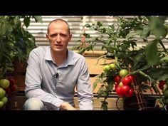 Szuvandzsiev Péter - folytonnövő paradicsom termesztése - YouTube