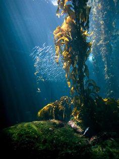 Las imágenes de este bosque subacuático fueron tomadas en el Acuario de la Bahía de Monterey en el estado de California, Estados Unidos. En este sitio se encuentra una gran variedad de algas en crecimiento creando un ecosistema productivo y dinámico subacuático. Este tipo de formaciones de flora marina también han sido encontradas en las aguas tropicales del Ecuador.