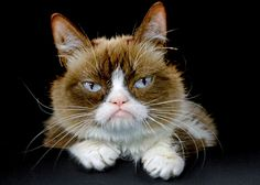 This Dec. 1, 2015 photo shows Grumpy Cat posing for a photo during an interview at the Associated Press in Los Angeles. Animals can melt the human heart, tic...
