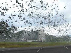 Liberation of Racing Pigeons